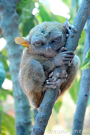 Tarsier in Bohol Philippines - Smalles Monkey